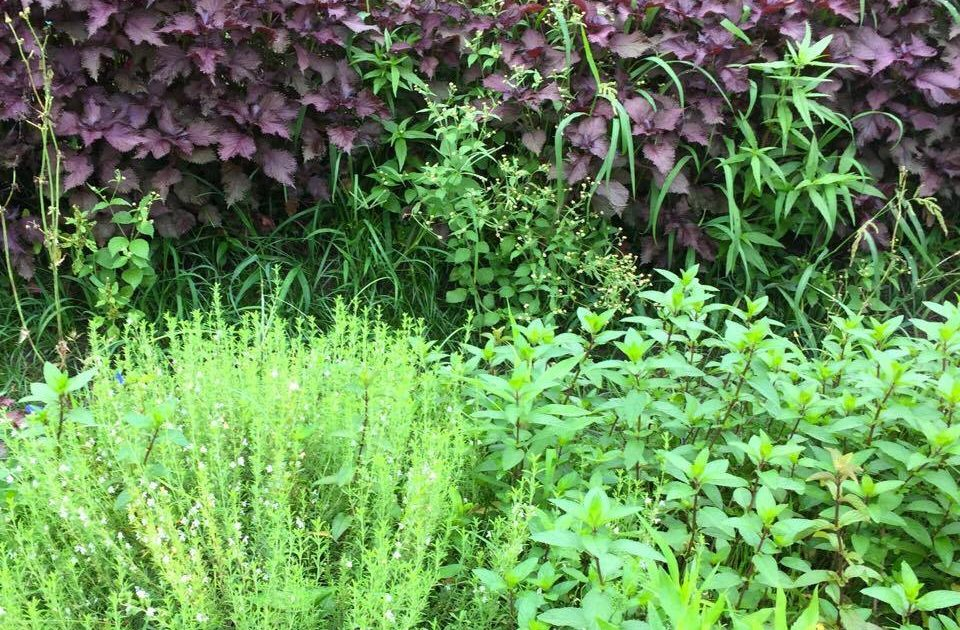 自然の豊かな環境で育つ三種類のハーブ